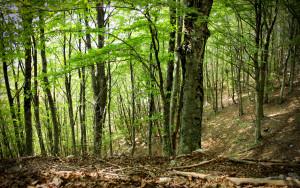 Particolare_della_foresta_di_faggi_-_